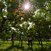 Harvesting peaches at Harker's Organics in Cawston