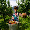 Fruit picker at Harker's Organics in Cawston