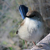 Superb Fairy-Wren (Nalurus cyaneus) ♀