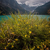 Wild flowers at Lake Louise