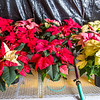 Holiday poinsettias are grown in the SNRAS greenhouse on UAF's West Ridge. The holiday plants are distributed to various offices around campus before the winter break.