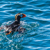 Tufted puffins are commonly seen in the waters of Kenai Fjords National Park near Seward.