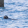 A sea otter feeds of shellfish near the boat harbor in Seward, Alaska.