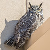 A great horned owl takes a morning break on the awning above the front doors of the Chapman Building on the Fairbanks campus.