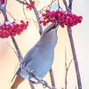 Bohemian waxwings feed on berries from a tree on the Fairbanks campus on a November afternoon.