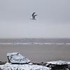 A gull flies over chunks of ice just off shore from Dillingham's waterfront during break-up in late April.