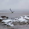 A gull flies over chunks of ice stranded on the mud flats just off shore from Dillingham's waterfront during break-up in late April.