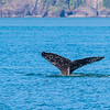 A humpback whale displays its distinctive tail as it dives in Resurrection Bay near Seward.