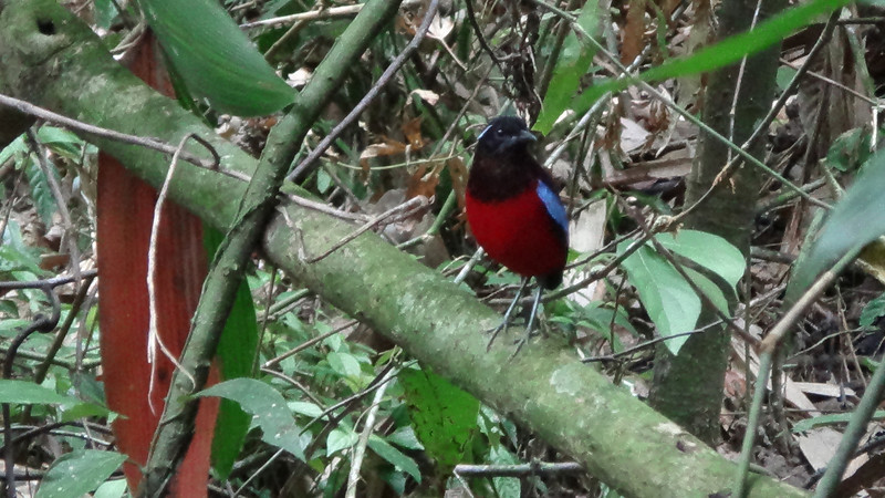 Black-headed Pitta (Gomantong 032514 246P-RAR)