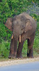 Bornean Pygmy Elephant (Big male, along road near Sukau 030714 632A-RAR)