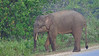 Bornean Pygmy Elephant (Big male, along road near Sukau 030714 629A-RAR)