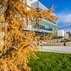 A tamarack tree displays its fall color in front of the Murie Building on UAF's west ridge.