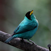 Green honeycreeper at La Quinta, male