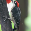 Black-cheeked woodpecker at La Quinta