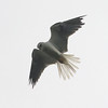 White-tailed kite, hovering