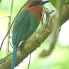 Broad-billed motmot, digiscope