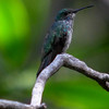 Mangrove hummingbird, digiscope