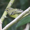 Yellow-winged vireo