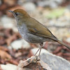 Ruddy-capped nightingale-thrush