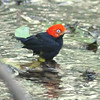 Red-capped manakin at Carara NP