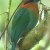 Broad-billed motmot, digiscoped