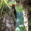 Black-cheeked woodpecker, male