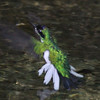 Male purple-crowned fairy  hovering over water, at Carara NP