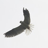 White-tailed kite hovering