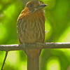 White-whiskered puffbird at Carara NP
