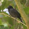 Black-hooded antshrike at Carara National Park