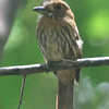White-whiskred puffbird at Carara NP
