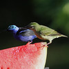 Red-legged honeycreepers, male and female