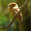 White-whiskered puffbird at Carara NP, backlit, digiscope picture