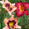Daylilies<br /> Natick, MA<br /> © WEOttinger, The Wildflower Hunter - All rights reserved<br /> For educational use only - this image, or derivative works, can not be used, published, distributed or sold without written permission of the owner.