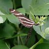 2013- zebra longwing laying eggs- Parrish backyard- summer