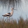 2013-avocet2_MINWR_Dec 2012
