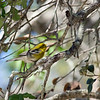 2013- blue-winged warbler_Emerson Point_Feb 2013