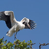 2013- woodstork_St Augustine_March 2013