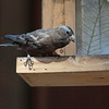 Gray-crowned Rosy-Finch 2014 342