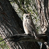 Great Horned Owl 2014 014