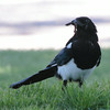 Black-billed Magpie 2014 229