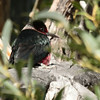 Lewis's Woodpecker 2014 006