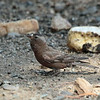 Gray-crowned Rosy-Finch 2014 323