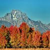 Aspens on fire at Oxbow Bend