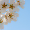 Cherry Blossom-aeamador-0217