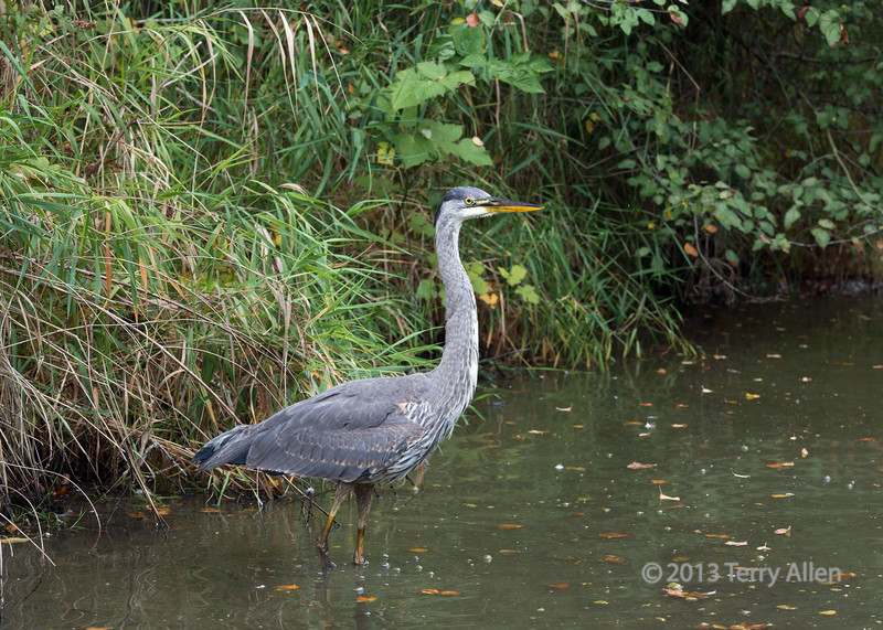 """Posing for the photographer<br /> <br /> Todays posts are all about Great blue herons, one done with with panning and one showing heron water art.  See here: <a href=""""http://goo.gl/sml7x8"""">http://goo.gl/sml7x8</a><br /> <br /> 19/10/14  <a href=""""http://www.allenfotowild.com"""">http://www.allenfotowild.com</a>"""