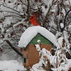 a snowy perch for this Cardinal