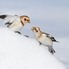 Snow Buntings Near Navan, Ontario