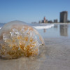 Dead jellyfish