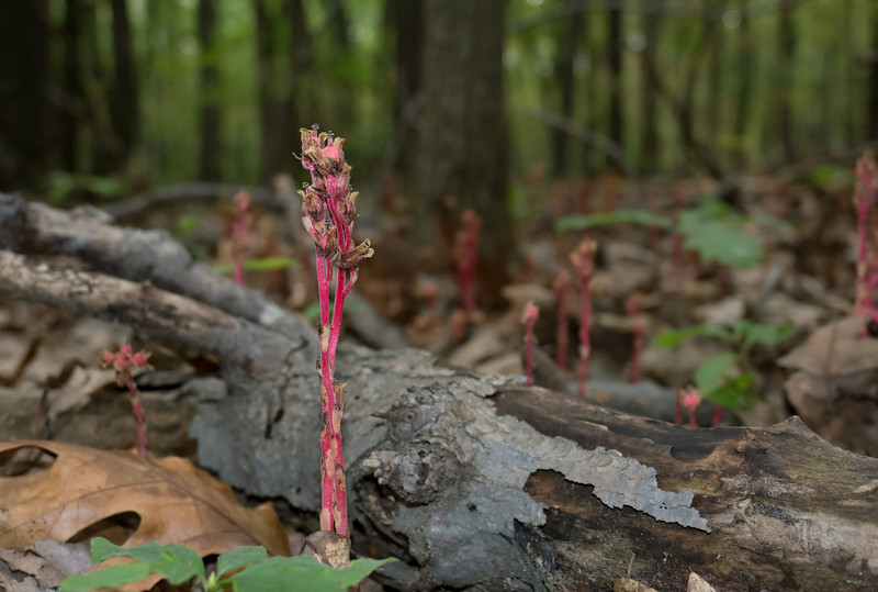 Pinesap (Monotropa hypopitys) in fruit Oregon Ridge, Baltimore County, MD